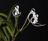 Neofinetia falcata from China.