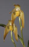 Ida fulvescens. (Plant courtesy of Jac. Wubben)