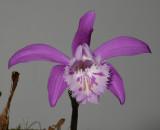 Pleione x barbarae. (also known as the pink P. grandiflora) (Plant courtesy of Jac. Wubben)