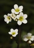 Saxifrage family (Saxifragaceae)