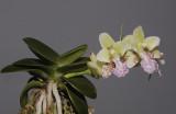 Sedirea japonica 'Daruma'.