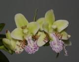Sedirea japonica 'Daruma'. Close-up.