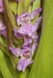 Dactylorhiza incarnata. Close-up.
