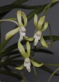 Neofinetia falcata 'Hisui' Closer.