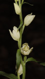 Cephalanthera damasonium. Closer.