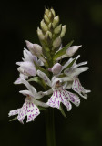 Dactylorhiza maculata subsp. fuchsii. Close-up.