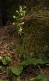 Planthanthera montana.