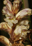 Orobanche minor. Closer.