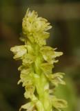 Herminium monorchis. Close-up.