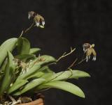 Pleurothallis ornata.