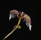 Pleurothallis ornata. Close-up side.