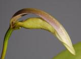 Bulbophyllum antenniferum.