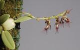 Bulbophyllum barbigerum.