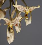 Stanhopea oculata.