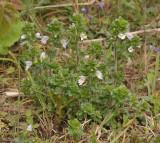 Euphrasia tetraquetra.