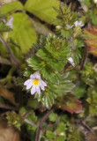 Euphrasia tetraquetra. Closer.