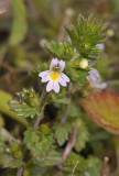 Euphrasia tetraquetra. Close-up.