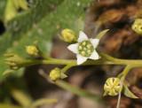 Sandalwood family (Santalaceae)