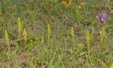 Herminium monorchis with Dactylorhiza praetermissa.