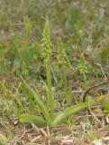 Herminium monorchis. Green.