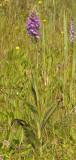 Dactylorhiza x batavica.