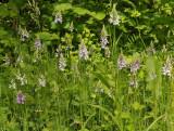 Dactylorhiza maculata subsp. fuchsii.