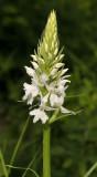 Dactylorhiza maculata subsp. fuchsii. fma. alba. closer.