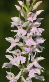 Dactylorhiza maculata subsp. fuchsii. pale. close-up.