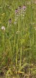 Neotinea ustulata subsp. aestivalis.