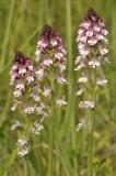 Neotinea ustulata subsp. aestivalis. Closer.