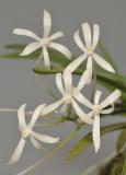 Neofinetia falcata 'Hoshiguruma'. Close-up.