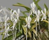 Neofinetia falcata 'Kinroukaku'. Close-up.