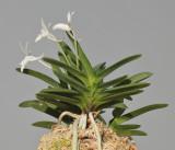 Neofinetia falcata 'Kirinmaru'. Different angle.