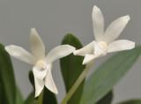 Neofinetia falcata 'Kirinmaru'. Close-up.