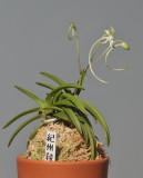 Neofinetia falcata 'Kisyuuryokufuu'.