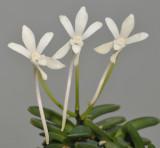 Neofinetia falcata 'Kuro Shinju'.Close-up.jpg