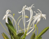 Neofinetia falcata 'Seibotan'. Close-up.