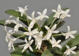 Neofinetia falcata 'Tamakongo'. Close-up.