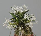Neofinetia falcata 'Tamakongo'. Year three.