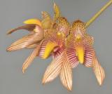 Bulbophyllum bicolor.