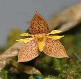 Bulbophyllum sorted on section.