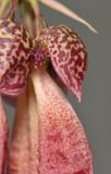 Bulbophyllum plumatum. Close-up. Type 2.