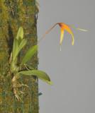 Bulbophyllum stormii.