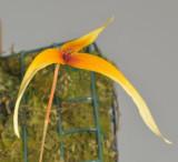 Bulbophyllum stormii. Close-up.