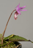 Calypso bulbosa var. occidentalis.