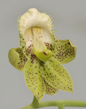 Catasetum atratum. Close-up.