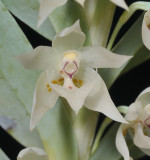 Dichaea glauca. Close-up.