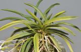 Neofinetia falcata 'Fugaku'. Foliage.