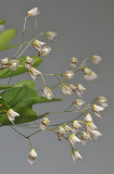 Pleurothallis mathildae. Closer.