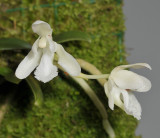 Sedirea japonica fma. alba.